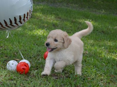 Goldendoodle PUPPY FOR SALE ADN-77796 - F1 standard Goldendoodles