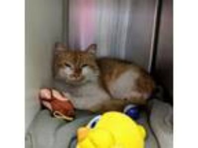 Adopt Stuart a Domestic Medium Hair, Domestic Short Hair
