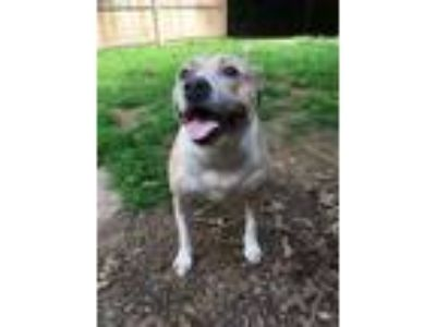 Adopt Felicity a Hound, Pit Bull Terrier