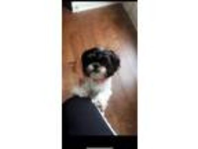 Adopt Penny and Sadie a White - with Black Shih Tzu dog in Angier, NC (25295130)