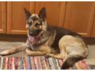 Adopt Otto a German Shepherd Dog