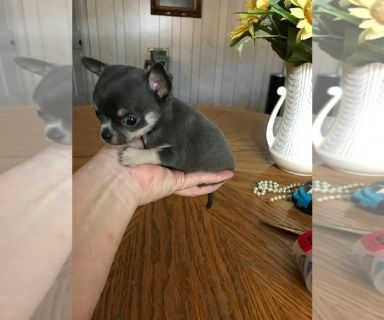 Chihuahua PUPPY FOR SALE ADN-127179 - Micro Tcup Applehead showy Chihuahua