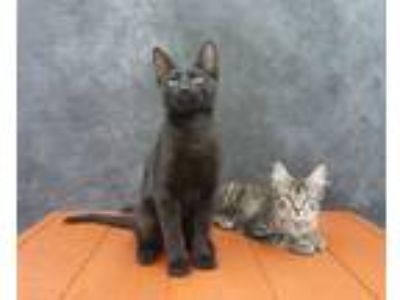 Adopt Mykonos - Exotic Looking Black Male Kitten a Domestic Short Hair