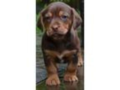 Adopt Blair's Puppies: Christian a Doberman Pinscher, Retriever