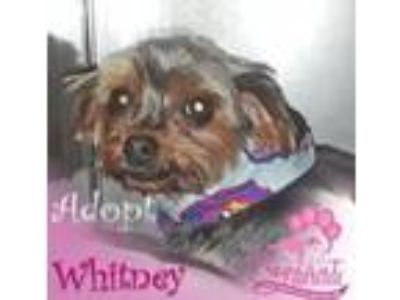 Adopt Whitney a Yorkshire Terrier