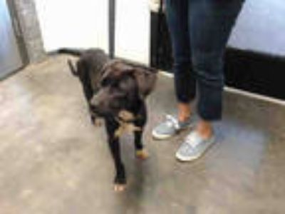 Adopt BUCKY a Black - with White American Pit Bull Terrier / Mixed dog in Tulsa