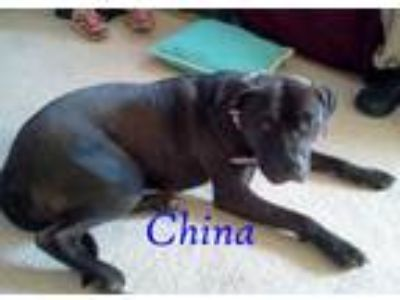 Adopt China a Black Pit Bull Terrier dog in Halifax, NC (13872987)