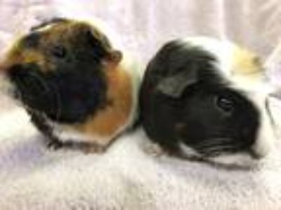 Adopt Fontenay (Bonded to Ridgeway) a Orange Guinea Pig small animal in Imperial
