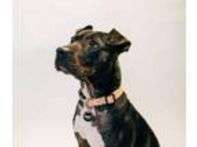 Adopt Roxy a American Staffordshire Terrier, Shar-Pei