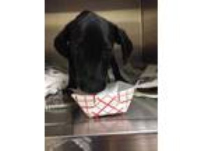 Adopt Lola a Black Hound (Unknown Type) / Retriever (Unknown Type) / Mixed dog