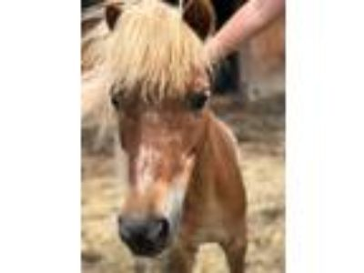 Adopt Stoli a Miniature / Mixed horse in Quakertown, PA (25365874)