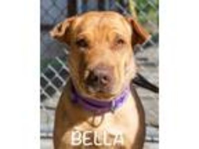 Adopt Bella a Tan/Yellow/Fawn Shar Pei / Affenpinscher / Mixed dog in St Helens