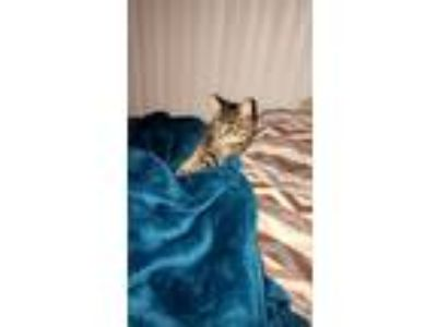 Adopt Felix a Gray, Blue or Silver Tabby Maine Coon cat in Springfield