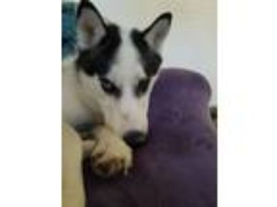 Adopt Octane a Black - with White Siberian Husky / Mixed dog in Napa