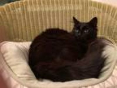 Adopt Sam a All Black Maine Coon (long coat) cat in Metairie, LA (25289940)