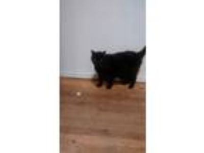 Adopt Addy a All Black Domestic Mediumhair / Mixed cat in Port Washington