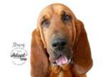 Adopt Daisy a Bloodhound