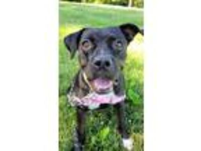 Adopt Dixie a Black - with Brown, Red, Golden, Orange or Chestnut Boxer /