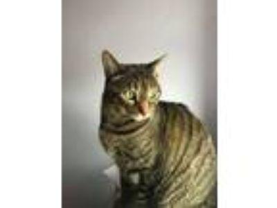 Adopt Ralph a Brown Tabby American Shorthair / Mixed cat in Philadelphia