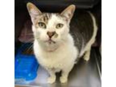 Adopt Malone a White (Mostly) Domestic Shorthair / Mixed cat in Oakland