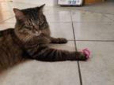 Adopt Miley a Black (Mostly) Maine Coon cat in Las Vegas, NV (25309267)