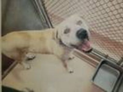 Adopt Winston a Tan/Yellow/Fawn Labrador Retriever / Mixed dog in Garland