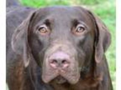 Adopt Charlie a Brown/Chocolate Labrador Retriever / Mixed dog in Englewood