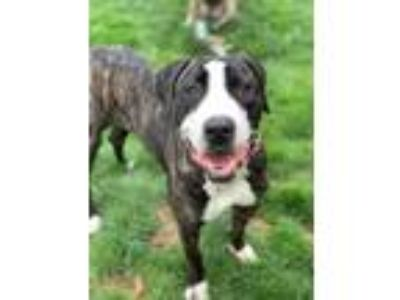 Adopt Jelly a Mastiff, Great Dane