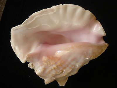 large heavy pink queen conch seashell strombus lobatus 10 x 9 x 6 - 3.5 pounds