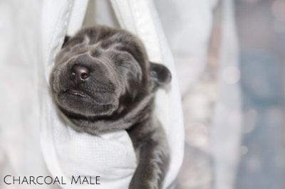 Labrador Retriever PUPPY FOR SALE ADN-90462 - Silver Charcoal Black and Chocolate Labradors
