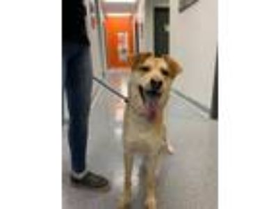Adopt Asher a Collie, Labrador Retriever