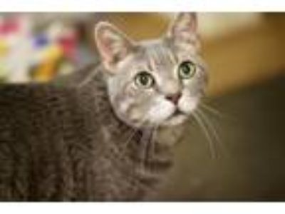 Adopt Skye a Domestic Short Hair