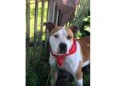 Adopt Ricky a American Staffordshire Terrier