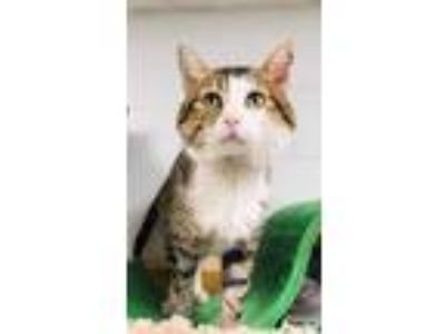 Adopt Gabe a Gray or Blue Domestic Shorthair / Domestic Shorthair / Mixed cat in