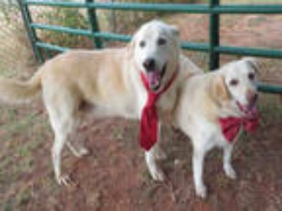 Adopt FRANK a Tan/Yellow/Fawn Labrador Retriever / Mixed dog in Oklahoma City