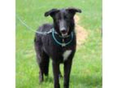 Adopt Cayden a German Shepherd Dog