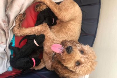 Puppy For Sale Classifieds In Hixson Tennessee Clazorg