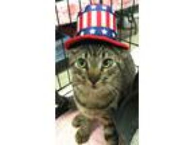 Adopt JEFFREY a Tabby, Domestic Short Hair
