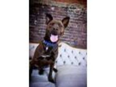 Adopt Kassidy a Black Labrador Retriever / Mixed dog in Independence