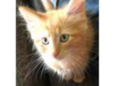 Adopt Cinnamon a Domestic Long Hair