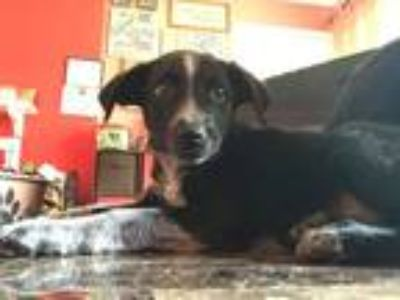 Adopt Leroy a Black - with White Border Collie / Cattle Dog / Mixed dog in