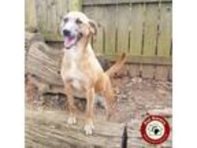 Adopt Nikki - Fee $90 a Tan/Yellow/Fawn - with White Labrador Retriever / Mixed