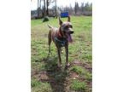 Adopt Nena a Brown/Chocolate Cattle Dog / Shepherd (Unknown Type) / Mixed dog in