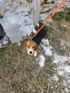 Beagle Harrier PUPPY FOR SALE ADN-108457 - Tri color female 6 mos