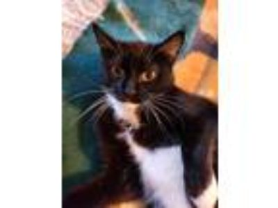 Adopt Kit Kat a Tuxedo, Domestic Short Hair