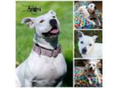 Adopt Angel a Pit Bull Terrier