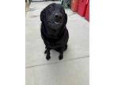 Adopt Martina a Black Labrador Retriever / Mixed dog in Columbia, SC (25875910)
