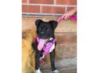 Adopt Millie a Black - with White Boxer / Mixed dog in Clifton Park