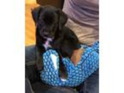 Adopt Shaley a Black - with White Terrier (Unknown Type, Medium) / Mixed dog in