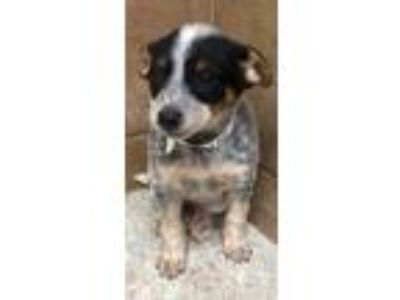 Adopt Polly a Australian Shepherd, German Shepherd Dog
